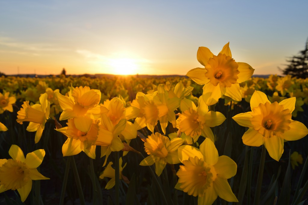 Daffodil Field Sunset